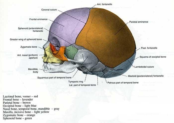 The newborn skull